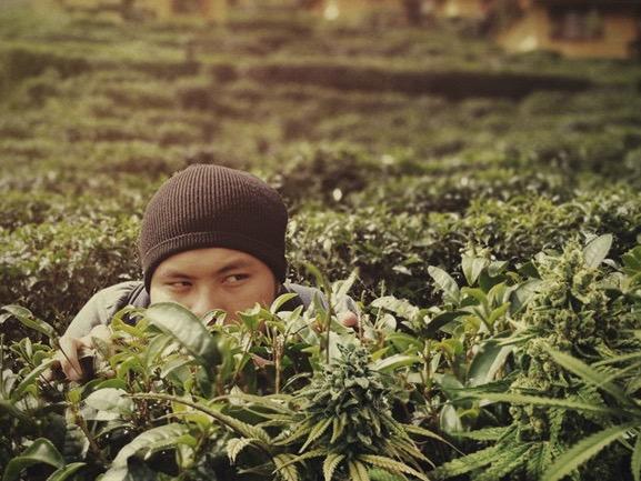Cannabis, Odeur,