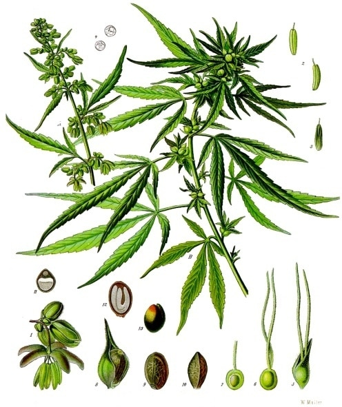 Cannabis, Sativa,