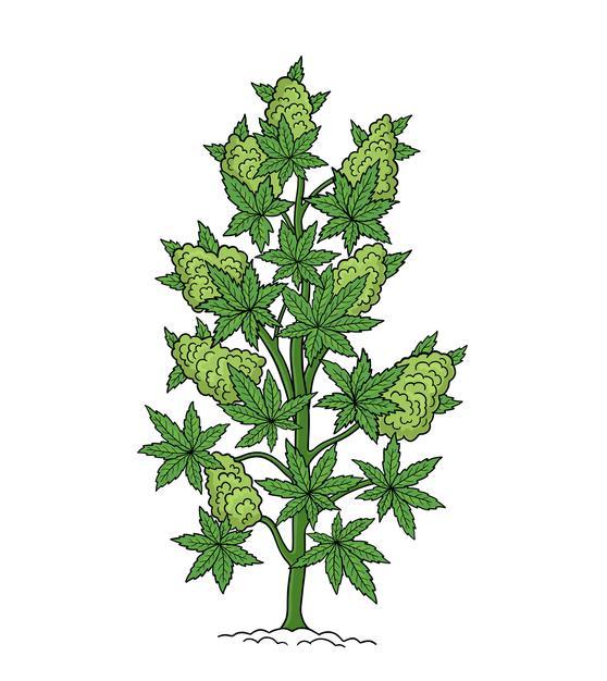 Cannabis, Ruderalis,