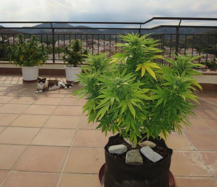 Cannabis, Autofloraison,